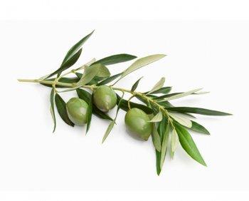 L'albero della vita. L'olivo