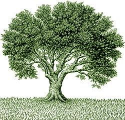 albero-olivo-p